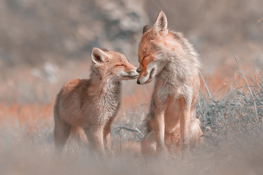 Red Fox Photograph - Fox Felicity - Mother and fox kit showing love and affection by Roeselien Raimond