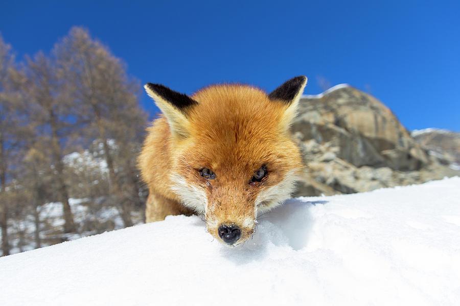 Fox in the snow by Pietro Ebner