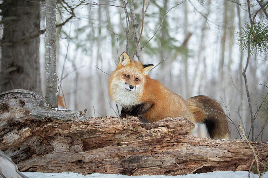 Fox in the Woods by Kristie Burns