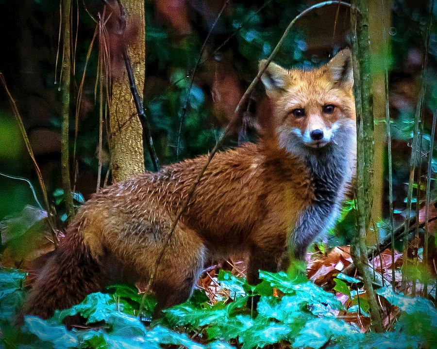 Fox In The Woods by Robert L Jackson
