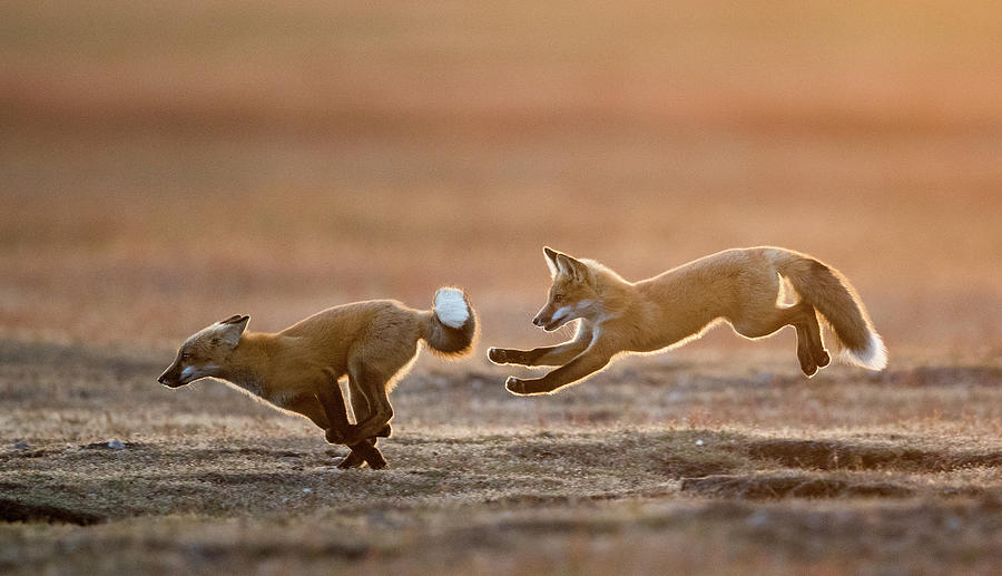 Fox Kit Chase 2 by Max Waugh