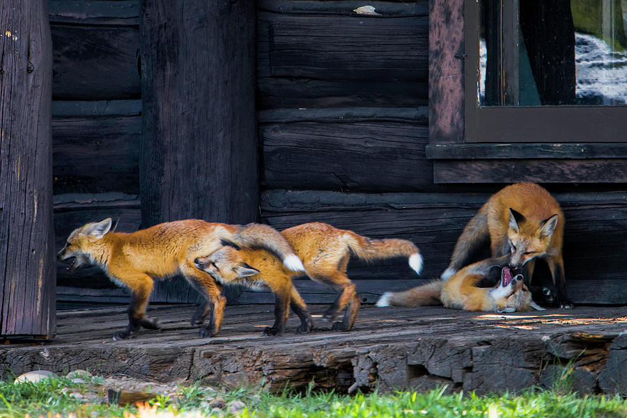 Knudsen Photograph - Fox Pups by Cameron Knudsen