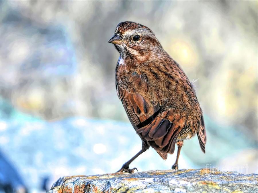 Sparrow Photograph - Fox Sparrow by Jennifer Jenson
