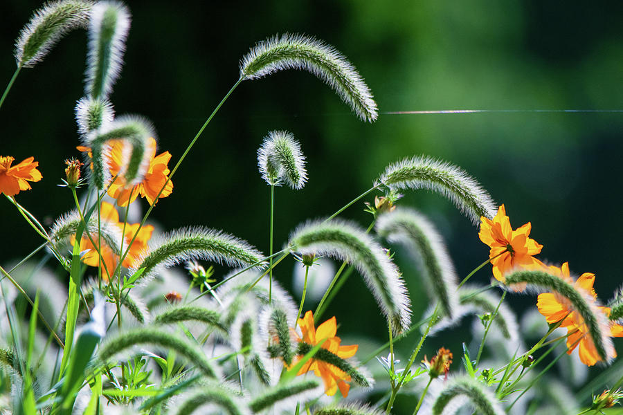 Foxtail And Cosmos Photograph
