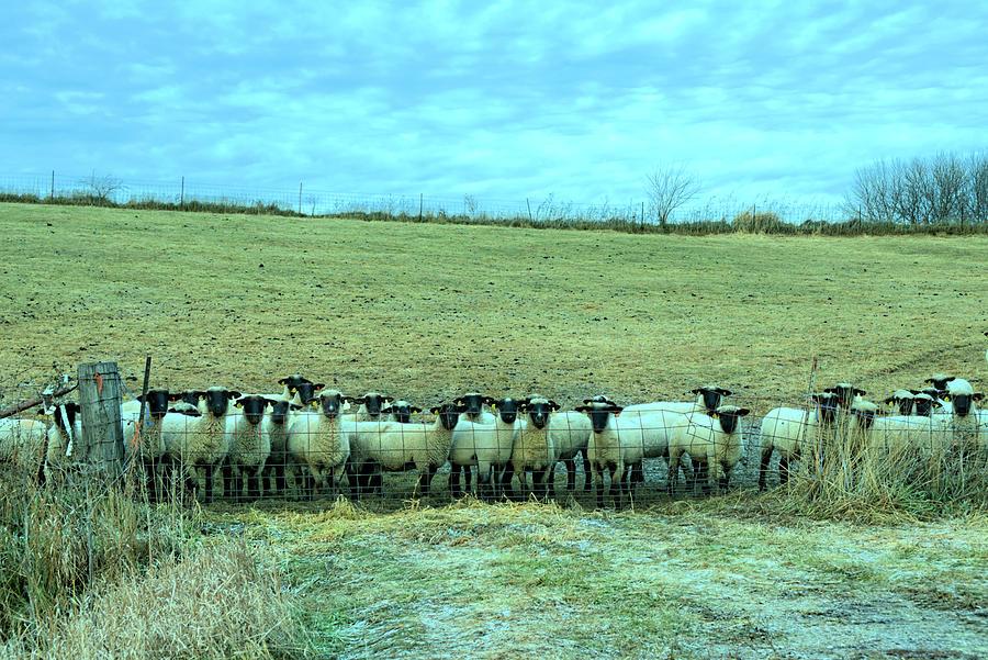 Sheep Photograph - Franklin Sheep 3 by Bonfire Photography