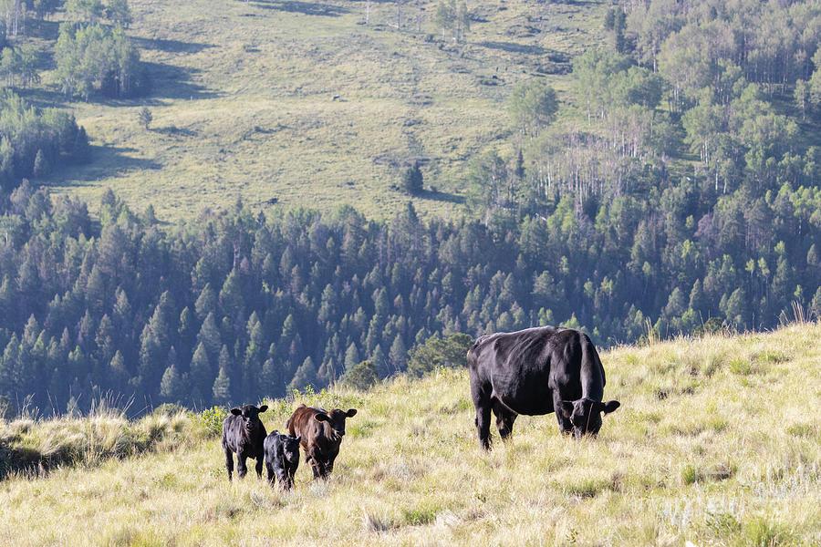 Free Range Cattle Photograph
