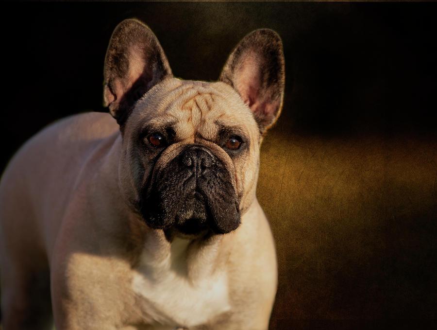 French Bulldog Photograph - French Bulldog by Diana Andersen