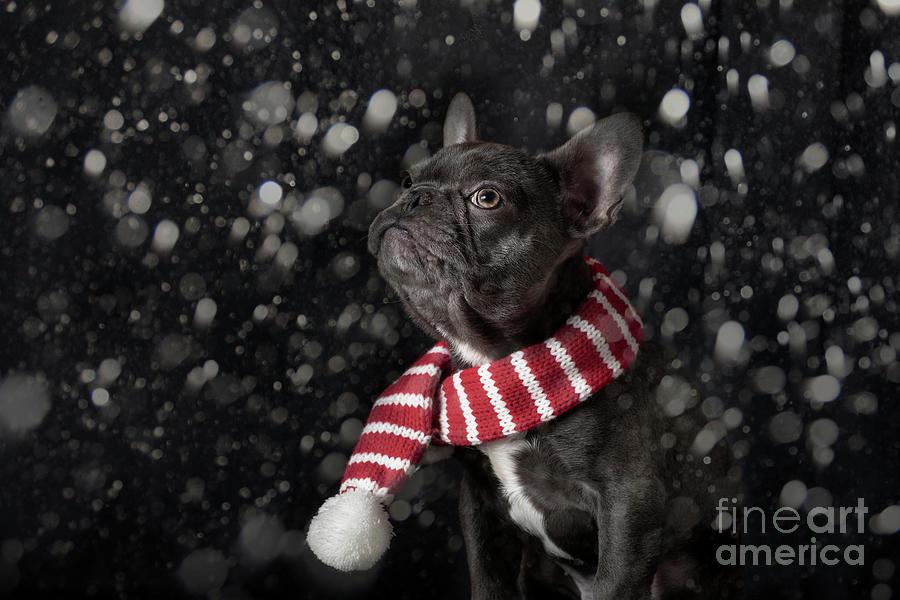 French Bulldog Dreaming Of Snow At Christmas Photograph