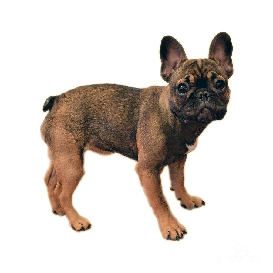 French Bulldog Puppy Photograph