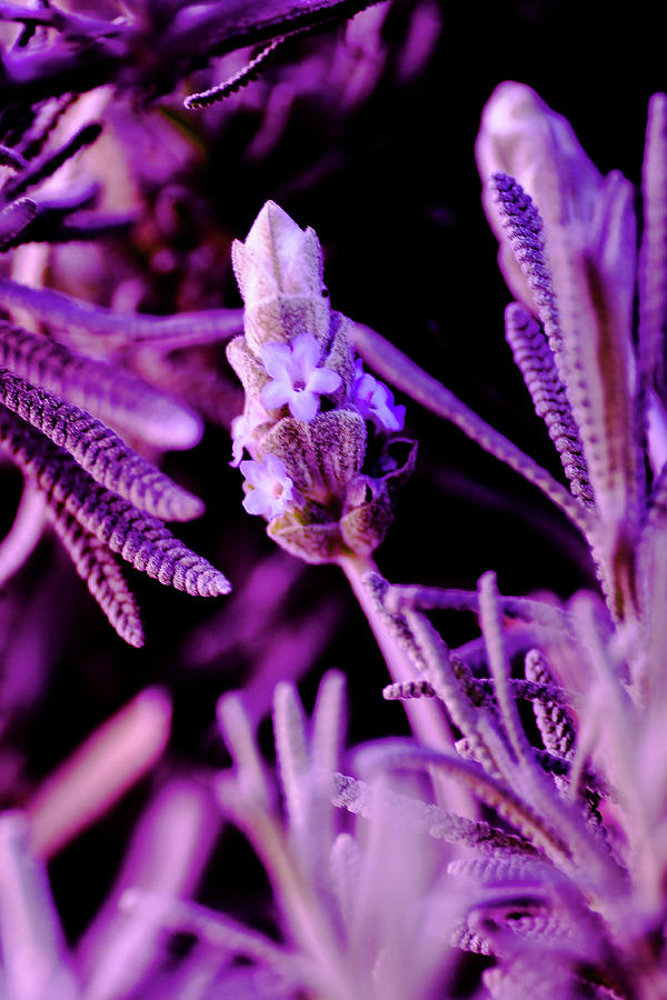 Plants Photograph - French Lavender by Jesse Chaidez