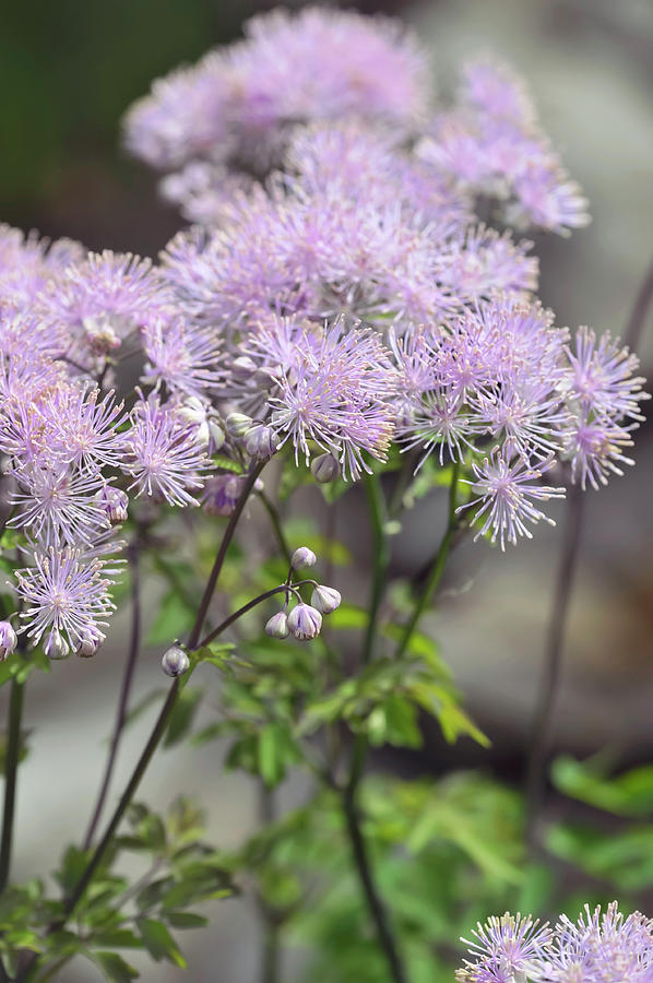 French Meadow-rue 1 by Jenny Rainbow