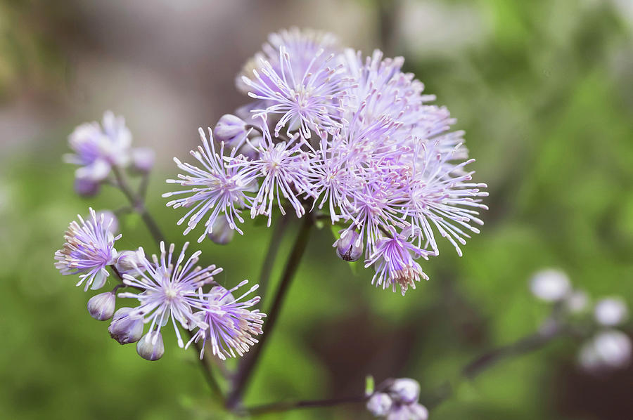 French Meadow-rue 2 by Jenny Rainbow