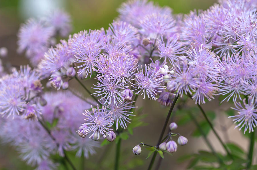French Meadow-rue 3 by Jenny Rainbow