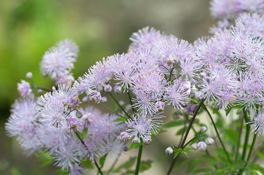 French Meadow-rue by Jenny Rainbow