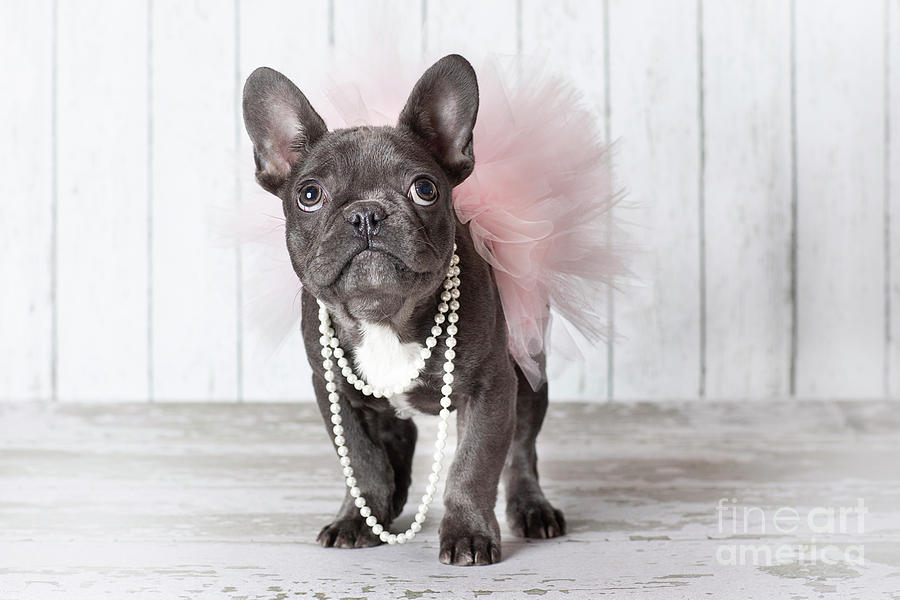 Frenchbull Dog Puppy In A Tutu Photograph