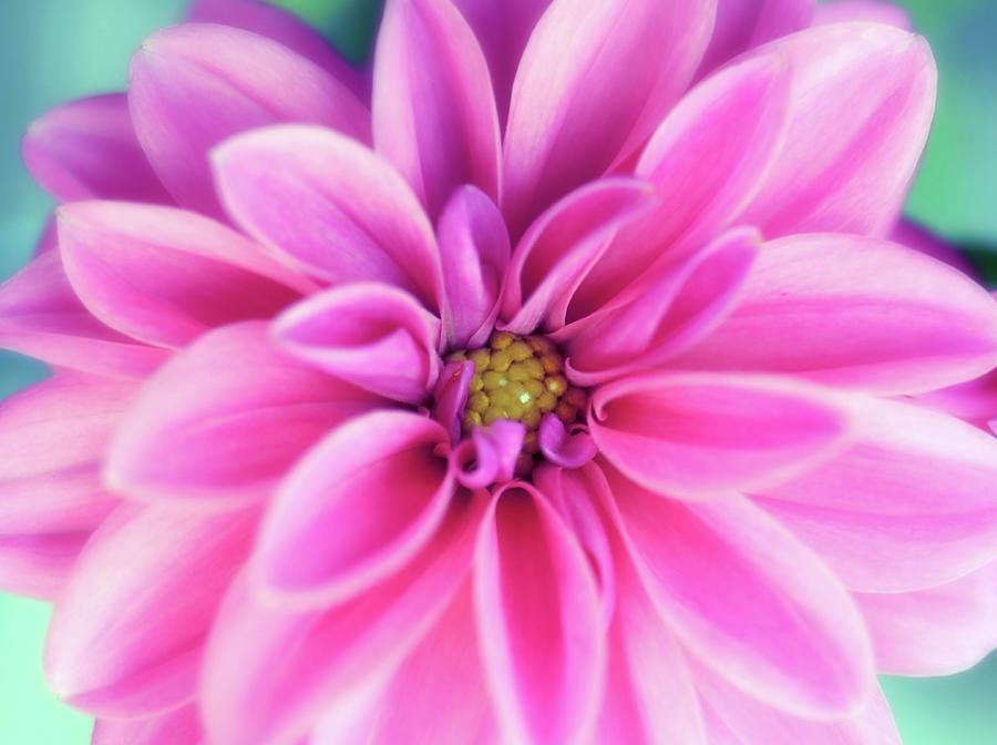 Fresh Pink Dahlia Photograph