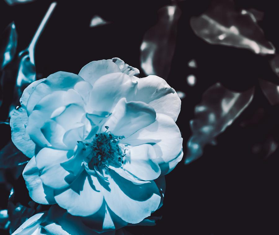 Fresh White Blue Zen Rose Photograph