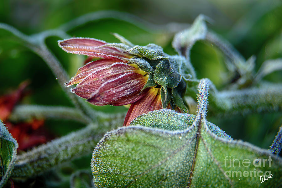 Frost by Alana Ranney
