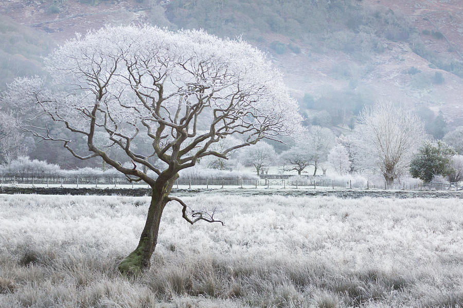 Frost laced tree, winter's morning, Borrowdale, Lake District by Anita Nicholson