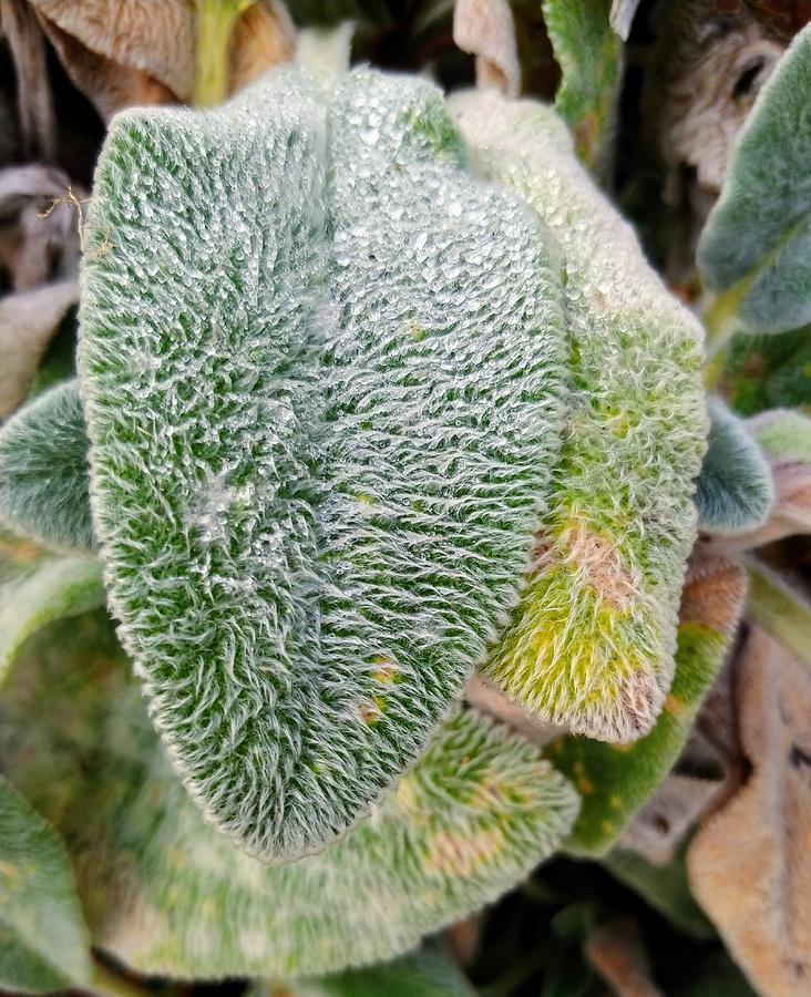 Plant Photograph - Frost Look A Like by Darrell MacIver