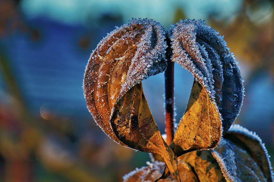 Frost On Dogwood Photograph
