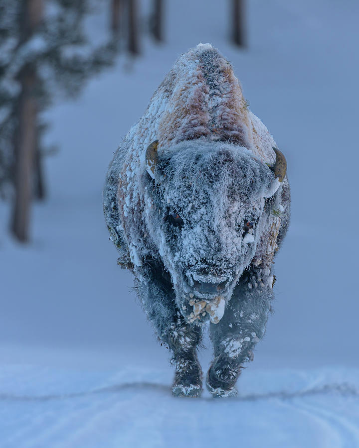 Frosted Bison by Laura Hedien