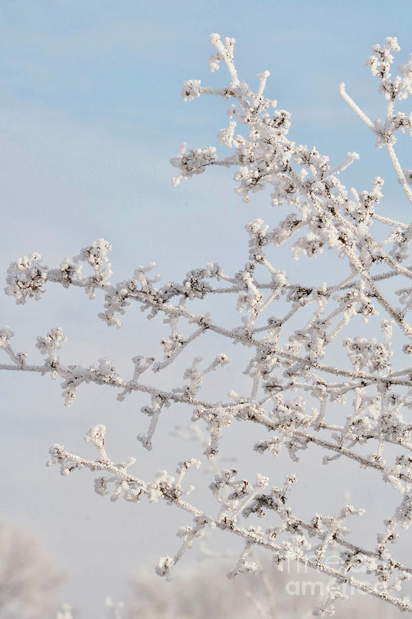 Frosty Branches with Hint of Blue by Carol Groenen