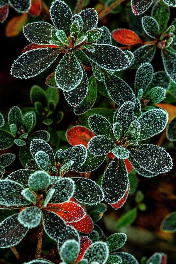 Frosty Leaves by Matthew Irvin