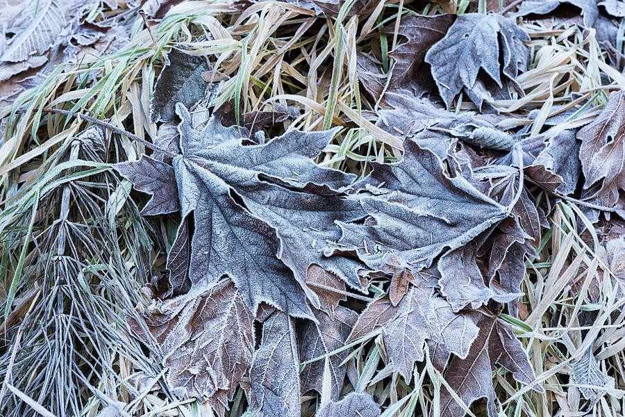 Frosty Leaves by Robert Potts