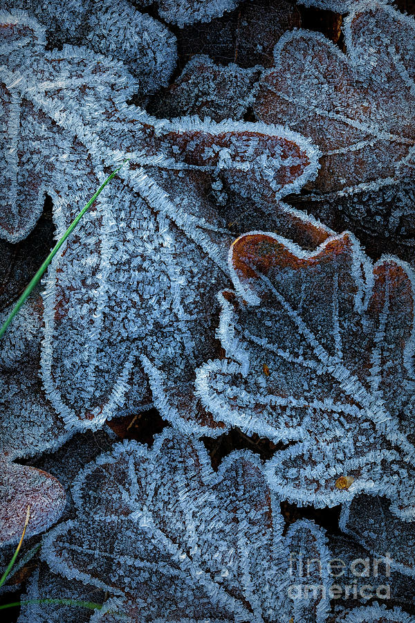 Abstract Photograph - Frosty Leaves by Veikko Suikkanen