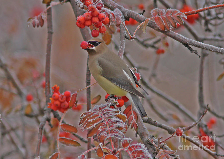 Cedar Waxwing Photograph - Frosty Morning by Gary Wing