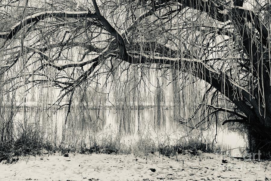Frosty Willow Tree In Winter Photograph