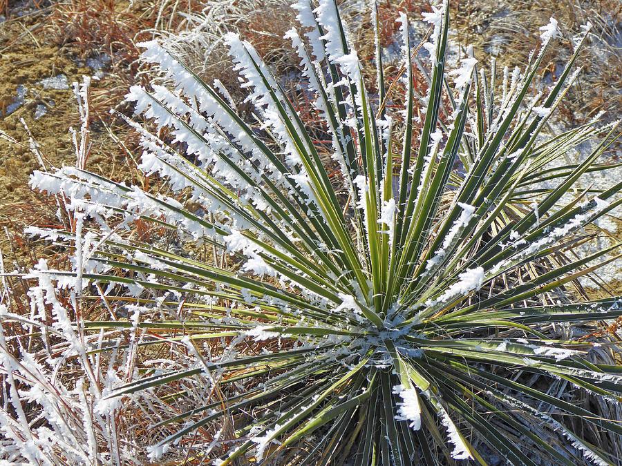 North Dakota Photograph - Frosty Yucca by Cris Fulton