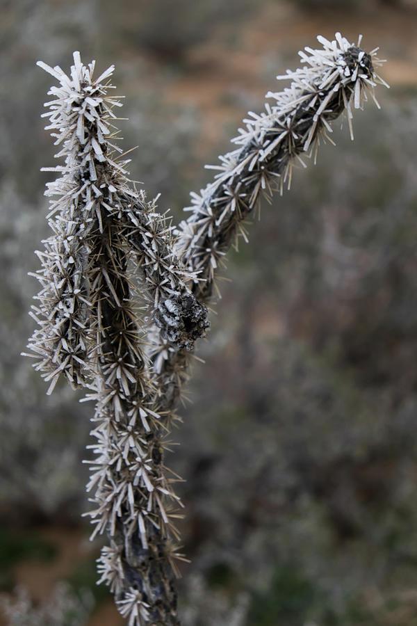 Frozen CactusTwins Photograph by Peyton Vaughn
