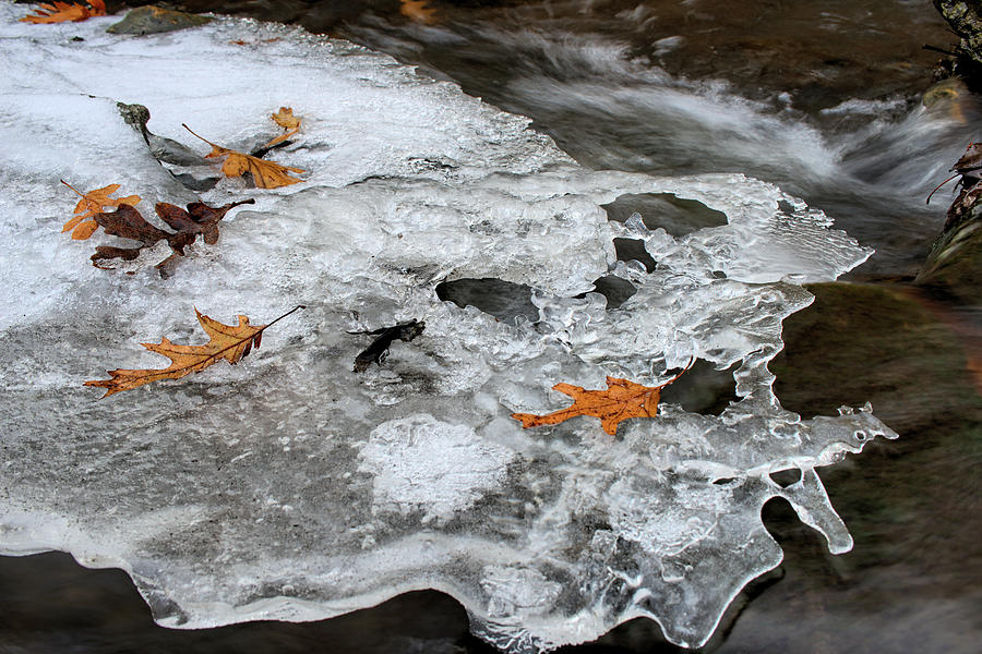 Oak Photograph - Frozen Oaks by Bonfire Photography