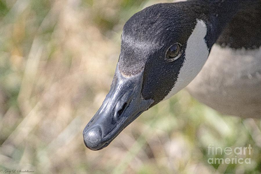 Full Face Canadian Goose Photograph