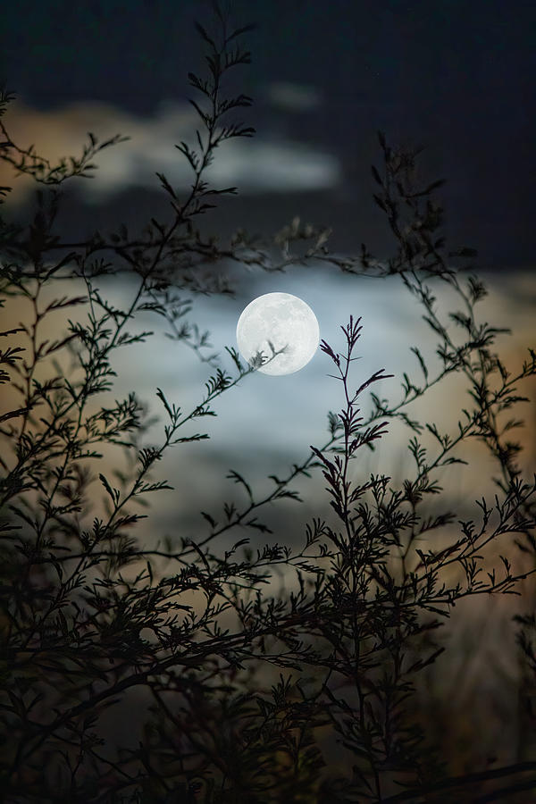 Full Moon Through Mesquite Branches Photograph