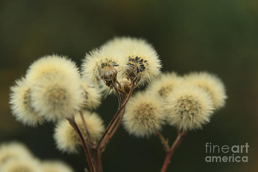 Flowers Photograph - Fuzz Up by Roland Stanke