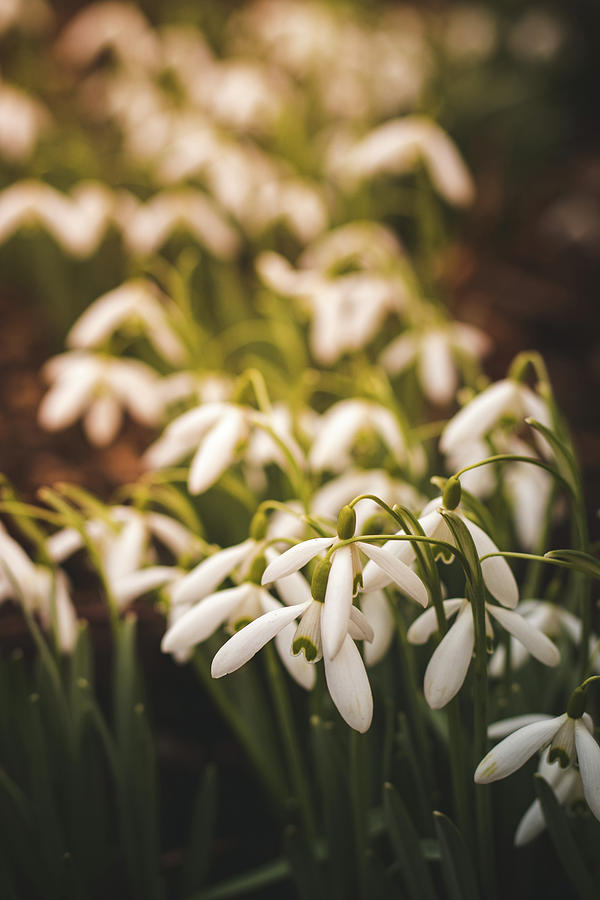 Galanthus Nivalis At Sunset Photograph