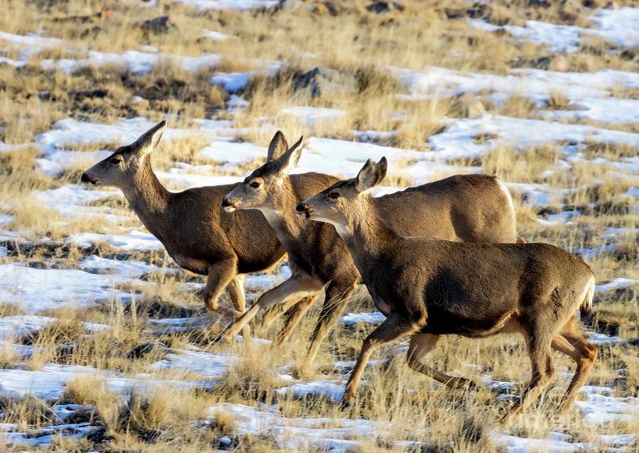 Galloping Herd Of Mule Deer Photograph