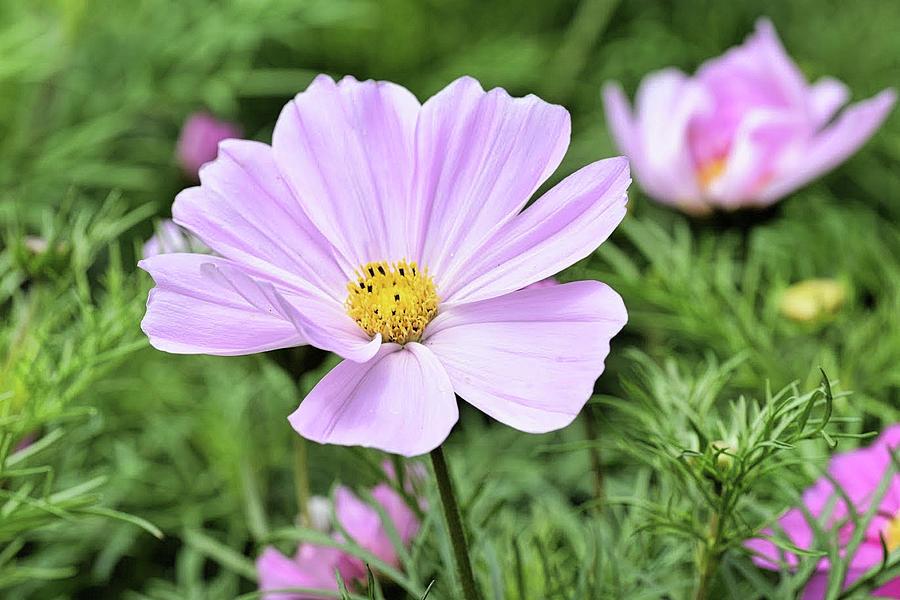 Garden Cosmos Flowers Cosmos Bipinnatus Photograph
