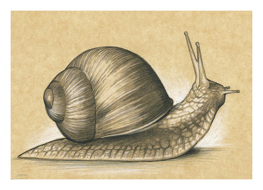 Snail Drawing - Garden Snail by Greg Joens