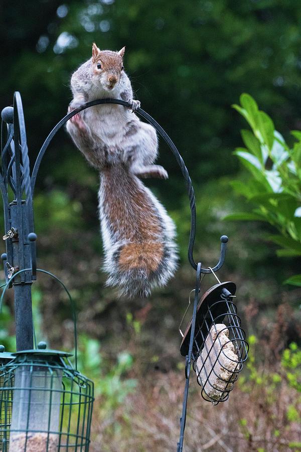 Squirrel Photograph - Garden Squirrel by Nick Lewis