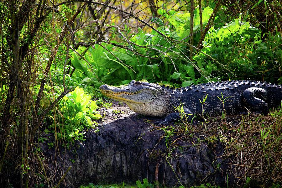 Gator sunning by Kevin Banker