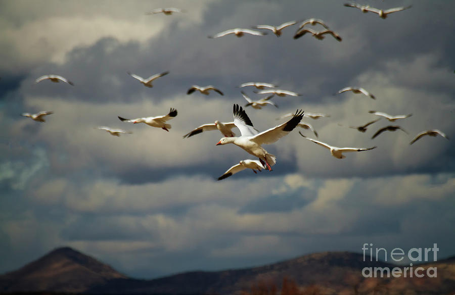 Geese In Dramatic Skies Photograph