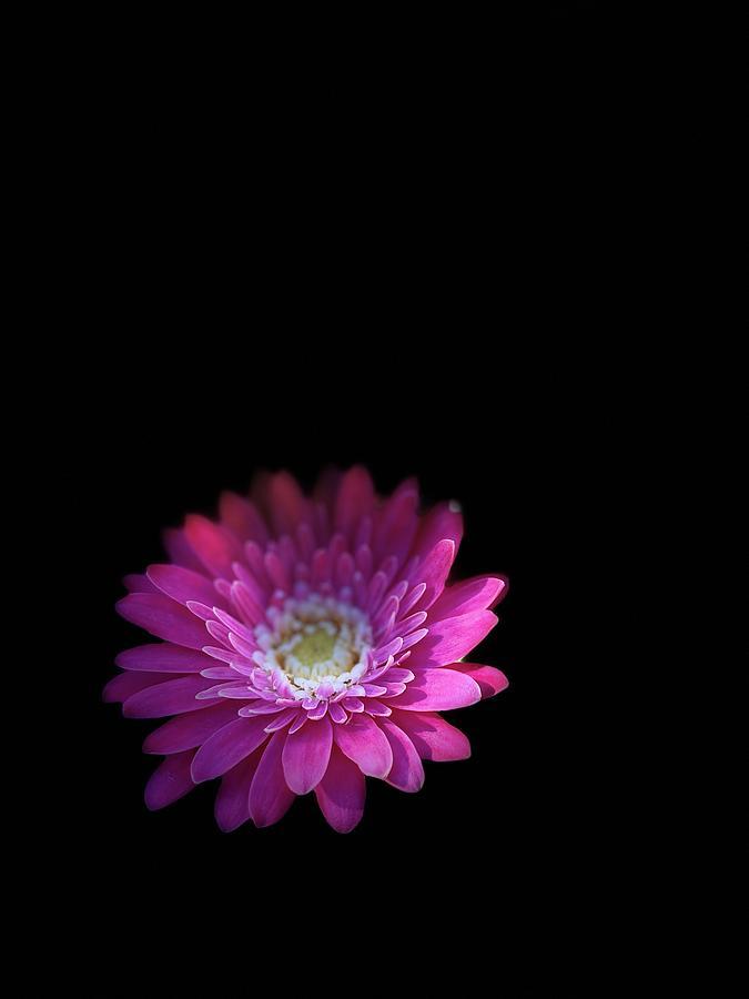 Gentle Daisy Photograph