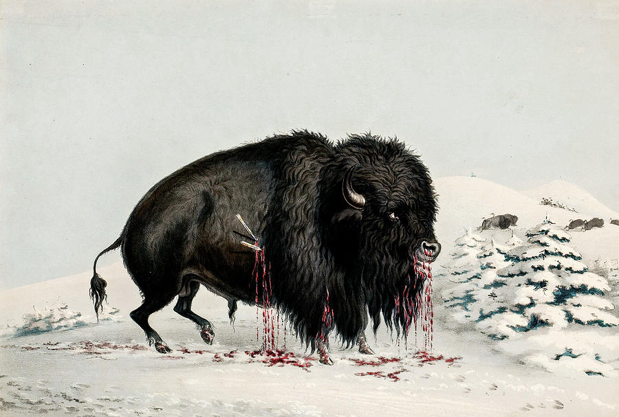 George Catlin American 1796 1872 North American Indian Portfolio  Wounded Buffalo Bull Plate 16 1844 Painting