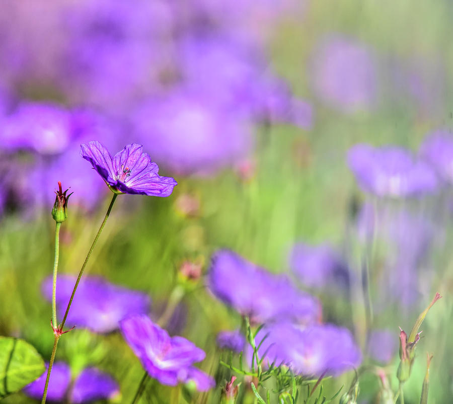 Geranium Soft Focus Photograph