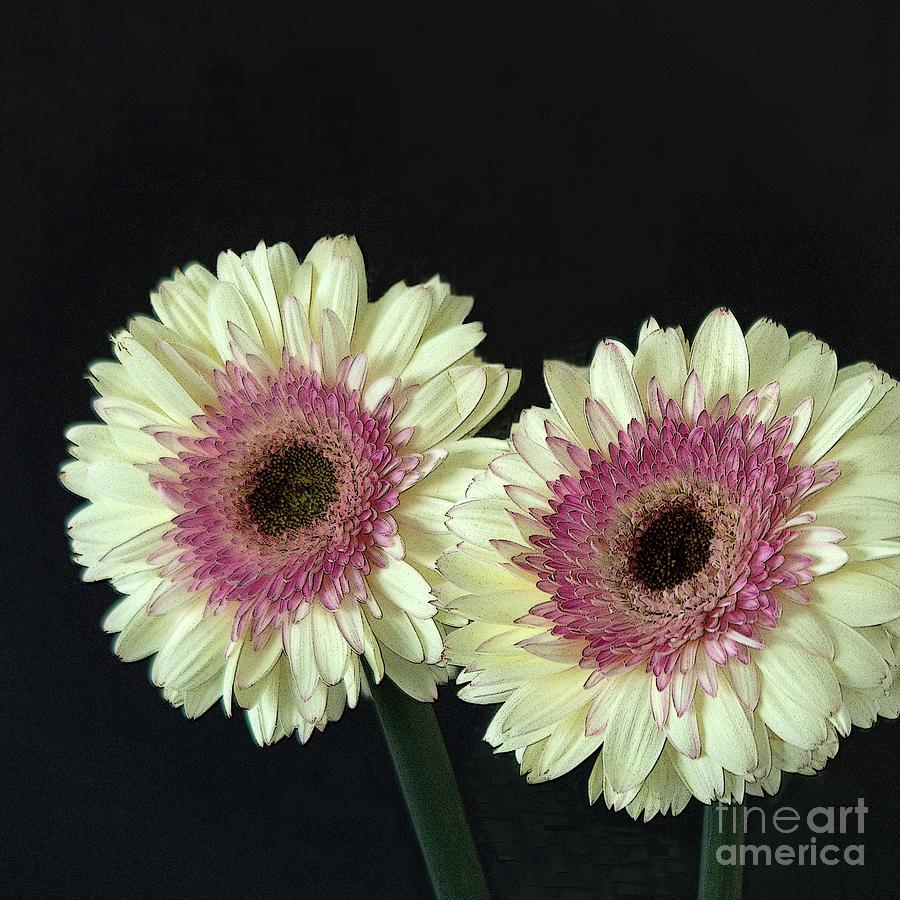 Gerbera Daisy Duo by Ann Horn