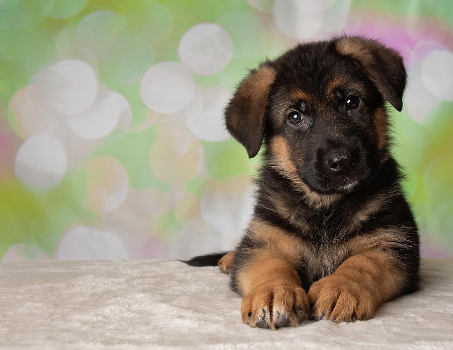 German Shepherd Puppy Dog Portrait Photograph By Ashley Swanson